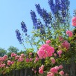 Flourishing pink rose bush and blue delphinium flowers — Stock Photo