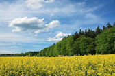 Blooming canola field and green forest, bavarian cloud scape — Stock Photo