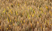 Wheat field with thick ripe ears, back lighted — Stock Photo