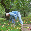 Senior collect fallen apples in the garden — Stock Photo #40954733