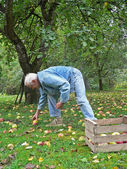 Senior collect fallen apples in the garden — Stock Photo