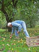 Senior collect fallen apples in the garden — Stock Photo