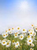 Camomile flowers and blue sky with clouds, floral background wit — Stock Photo