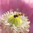 Hoverfly at pink poppy flower — Stock Photo #41217579