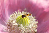Hoverfly at a pink poppy flower — Stock Photo