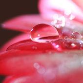 Macro of shiny dew drop on gerber daisy petal — 图库照片