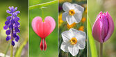 Collage -  spring flowers, with bleeding heart, tulip, muscari a — Stock Photo