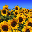 Sunflower field full bloom, against blue sky — Stock Photo #41604525