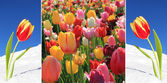 Collage - vibrant tulips in april — Stock Photo