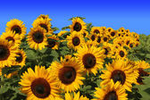 Sunflower field full bloom, against blue sky — Stock Photo