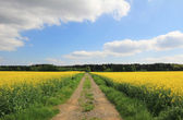 Country lane through canola field — Stock Photo
