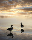 Ducks in the water, tranquil sunset scenery — Foto Stock