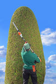 Gardener trimming thuja with hedge clippers — Stock Photo