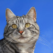 Closeup of a tabby cat, against blue sky — Stock Photo #43666109