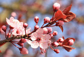 Bloom of an flowering cherry tree — Stock Photo