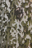 Bark of sycamore tree, natural camouflage pattern — Stock Photo