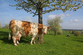 German dairy cow and blooming cherry tree — Stock Photo
