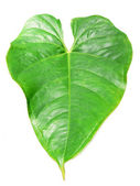 Heart shaped exotic plant leaf — Stock Photo