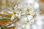Blooming juneberry branch, amelanchier ovalis — Stock Photo
