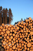 Stacked logs in the forest — Stock Photo