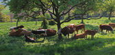 Cattle herd in a tree shadow — Stock Photo