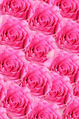 Background of fresh pink rosebuds — Stock Photo