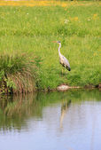 Wild silver egret, reflecting in a pond — Stock Photo