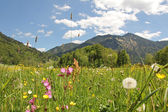 Alpine wildflower meadow, bavaria — Stock Photo