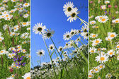 Triple marguerite meadow — Stock Photo