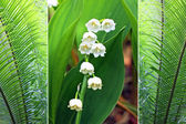 Triple - fern plants and lily of the valley — Stock Photo