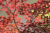 Back lighted red maple leaves — Stock Photo