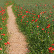 Footpath through wheat field with red poppies, daylight — Stock Photo #48681537
