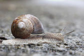 Large garden snail — Stock Photo