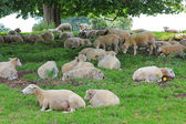 Sheep herd under a big chestnut tree — Stock Photo