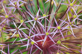 Macro of allium cristophii — Stock Photo