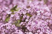 Light pink gypsophila — Stock Photo