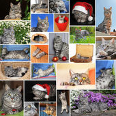 collage of european short hair cat — Stock Photo