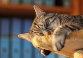 Tomcat, resting in the office — Stock Photo