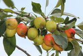 Twig with bunch of little apples — Stock Photo