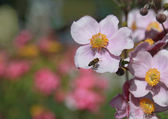 Anemone japonica and honey bee — Stock Photo