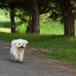 Stock Photo: Bichon runs