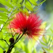 Stock Photo: Callistemon