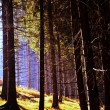 Autumn coniferous forest — Stock Photo