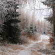 Stock Photo: Forest covered with frost