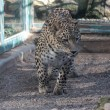 Stock Photo: Africleopard