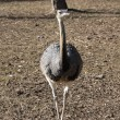 Stock Photo: Emu walks in its area