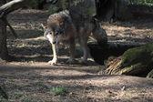 Wolf — Stock fotografie