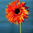 Orange gerbera — Stock Photo #22722807