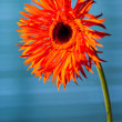 Orange gerbera — Stock Photo #22722831