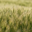 They grow rye this year — Stock Photo